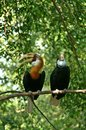 Papuan or blyth s hornbill thailand Stock Photo