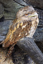Papuan frogmouth Royalty Free Stock Images
