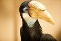 Papuan hornbill birds in zoo Stock Photos