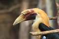 Papuan hornbill the detail of adult male of Stock Photography