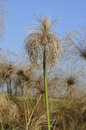 Papyrus sedge Stock Photography