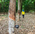 Para rubber tree garden workers Royalty Free Stock Images