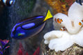 Paracanthurus and clown fish hepatus is a species of indo pacific surgeonfish Royalty Free Stock Photos