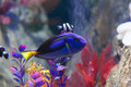 Paracanthurus and clown fish hepatus is a species of indo pacific surgeonfish Royalty Free Stock Images