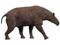 Paraceratherium on white also known as indricotherium was a genus of gigantic hornless rhinocerus like animal which was the Royalty Free Stock Images