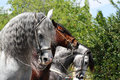 Parade horses beautiful gray and brown marching in Stock Image