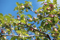 Paradise apples on the tree close to Stock Photo