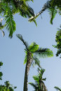Paradise palm tree in a lush forest Stock Photography