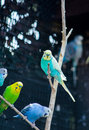 Parakeet In Different Colors