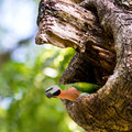 The parakeet living in little nest in garden Stock Images