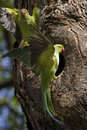 Parakeet pair a male long tailed rose ringed psittacula krameri entering the nest cavity as the female departs at iolani palace Royalty Free Stock Photo