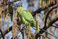 Parakeet Royalty Free Stock Photo
