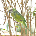 Parakeet of thailand psittacula sp Royalty Free Stock Images