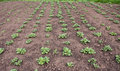 Parallel rows of young Potato plants growth in garden Royalty Free Stock Photo
