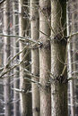 Parallel trees in winter empty forest close up time Royalty Free Stock Images
