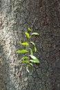 Parasite on the bark of tree mango Royalty Free Stock Images