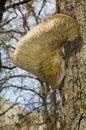 Parasitic mushroom Stock Photography