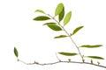 Parasitic plant isolated on white background family loranthaceae Stock Image
