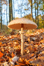 Parasol mushroom in forest macrolepiota procera autumn Stock Photo