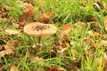 Parasol mushroom growing from green grass with brown leaves macrolepiota procera family lepiota Royalty Free Stock Photography