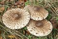 Parasol mushroom macrolepiota procera in the field Stock Image