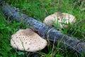 The parasol mushrooms close up of Royalty Free Stock Photo