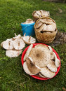Parasol mushrooms full baskets of overview macrolepiota procera Stock Photos