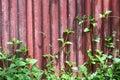 Pared vieja roja con la vid Foto de archivo libre de regalías