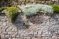 Parede medieval coberta com as plantas Foto de Stock Royalty Free