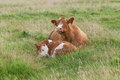 Parent cow a resting with her calf in a green meadow Stock Image
