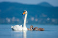 Parent swan with young chicks on a pond Royalty Free Stock Photos
