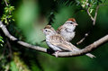 Parent and young chipping sparrow perched in a tree Stock Photography