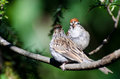 Parent and young chipping sparrow perched in a tree Royalty Free Stock Image