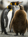 Parenting Penguin Royalty Free Stock Photography