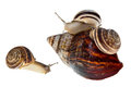 Parenting snail Stock Photos