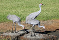 Parents and Adolescent Sandhill Crane Stock Photo