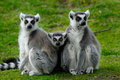 Parents and baby ring-tailed lemur Stock Images