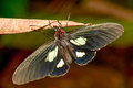 Parides Arcas Open Royalty Free Stock Photo