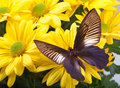 Parides varuna Butterfly