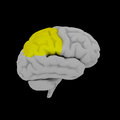 Parietal lobe human brain in side view Stock Images