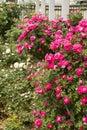 The Park Flowers, Rose