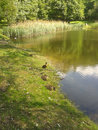 Park pond with ducks on a sunny day Stock Photography