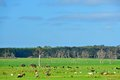 Parkland cleared cattle grazing in fields with dying remnant gum trees Stock Photos