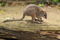 Parma wallaby Fotografia Royalty Free
