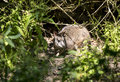 Parma wallaby detail of a hiding in undergrowth Stock Photos