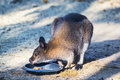 Parma wallaby feeding Royalty Free Stock Photo