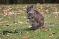 Parma wallaby sitting in the grass Royalty Free Stock Photo