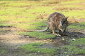 Parma wallaby standing in the swampy landscape Royalty Free Stock Photo