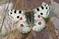 Parnassius apollo macro of this beautiful butterfly Royalty Free Stock Photo