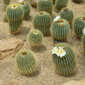 Parodia claviceps spegazz cactus grows in sand Royalty Free Stock Photography